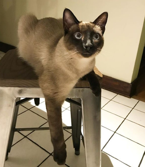 Most Popular Cats: No. 4 Siamese