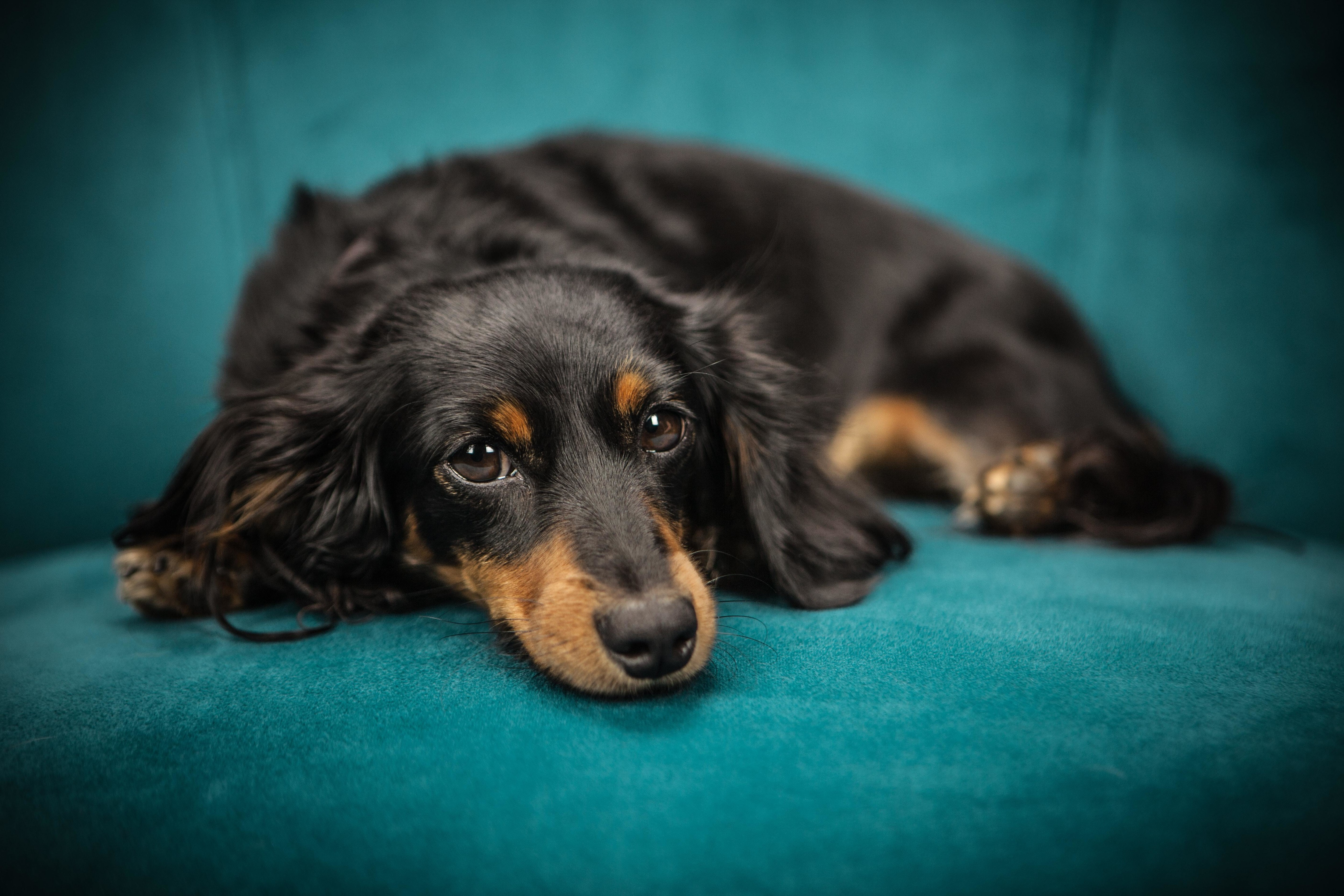 Dachshund - Here Are 30 Low-Key Dog Breeds Perfect For Retirees ...