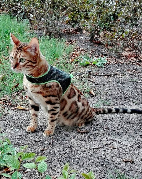 Most Popular Cats: No. 10 Bengal