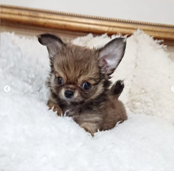 Most Popular Dogs: No. 1 Chihuahua