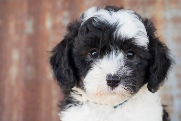 Adorable Crossbreed Dogs You Might Not Have Heard Of
