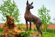 Dog Breeds You May Not Have Heard Of, Let Alone Know How To Pronounce
