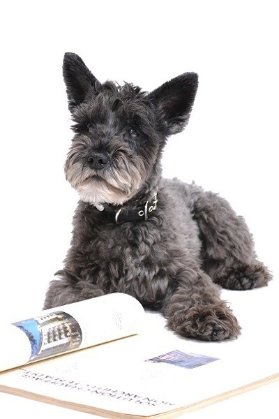1935: Scottish Terrier