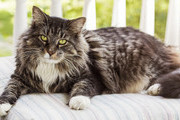 Cat Breeds That Are Ideal For People Over 50