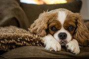 The Calmest, Cuddliest Dogs You Can Own